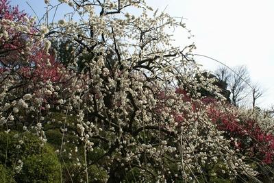 重なる梅の花