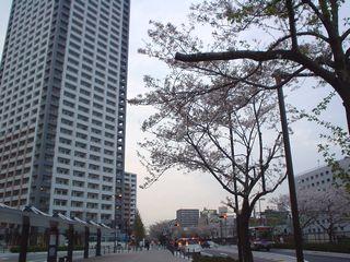 桜並木2007